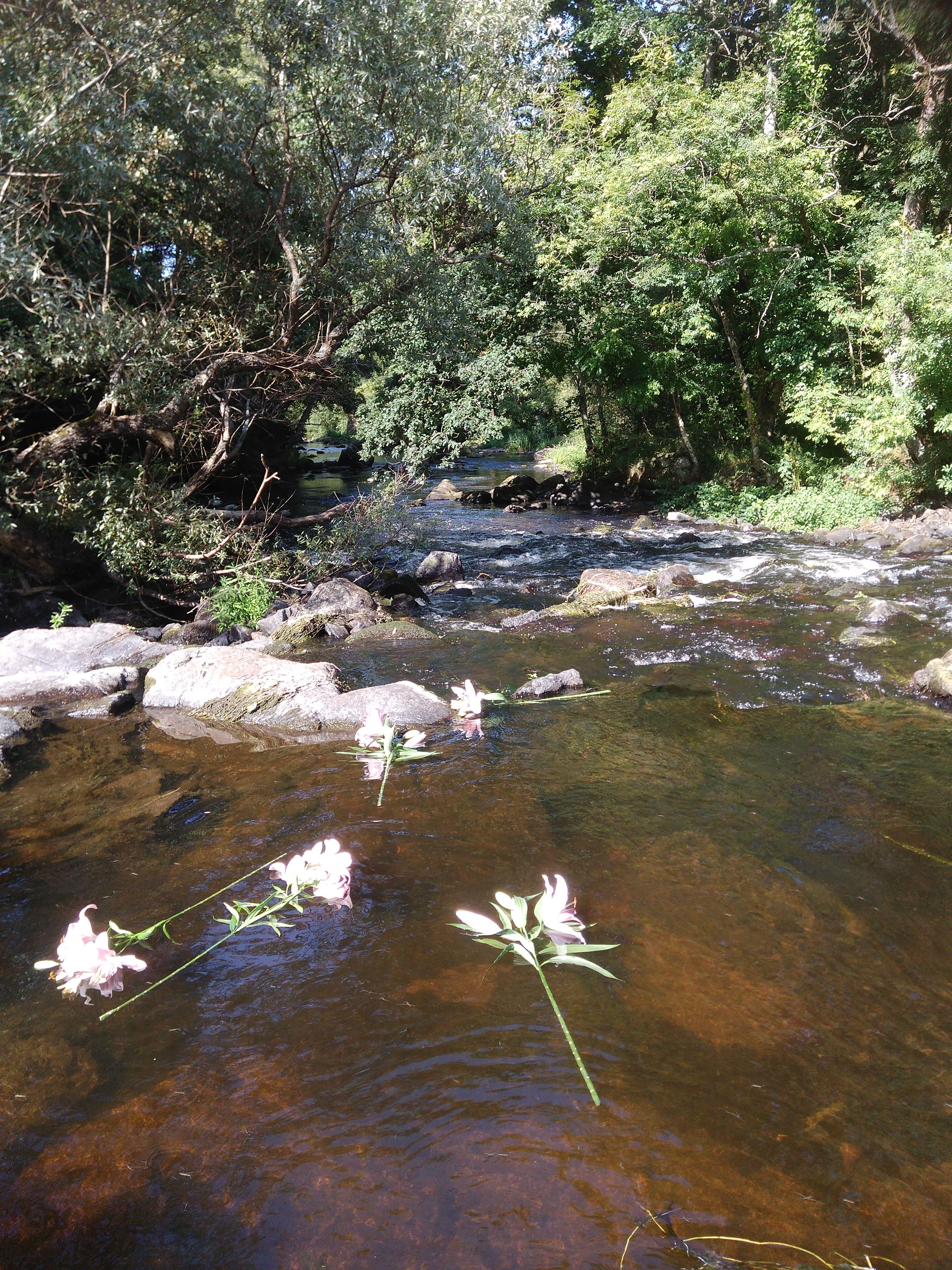 lys sur la rivière